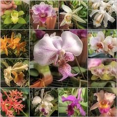 (Tölgyesi Kata) Tags: orchid orchidea withcanonpowershota620 botanikuskert botanicalgarden greenhouse üvegház füvészkert flower budapest macro blossom fleur virág tavasz spring mosaic mozaik collage hand kéz march március