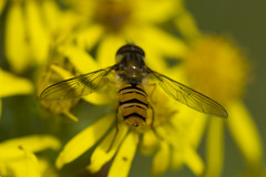Shakin' Dat A$$ (steve_whitmarsh) Tags: macro closeup nature wildlife animal insect hoverfly fly yellow flowers topic abigfave