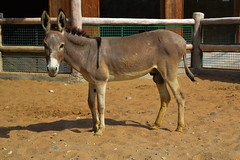 Donkey (Equus africanus asinus) (Seventh Heaven Photography) Tags: donkey equusafricanusasinus equus africanus asinus animal mammal nikond3200 ass emirates park zoo uae united arab abu dhabi