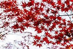 Autumn Leaves of Maple in Kuhonbutsu Joshinji Temple : 紅葉(九品仏浄真寺) (Dakiny) Tags: 2018 winter december japan tokyo setagaya kuhonbutsu nature landscape park tenmple kuhonbutsujoshinjitemple street plant tree maple autumnleaves red nikon d750