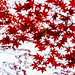 Autumn Leaves of Maple in Kuhonbutsu Joshinji Temple : 紅葉(九品仏浄真寺)