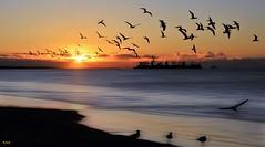 Winter Winds II (beachpeepsrus) Tags: shore sky sunrise shorefront seagull sihlouette beach birds blackskimmers bay