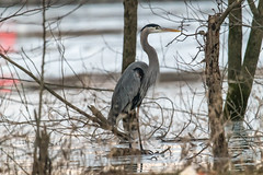 Not quite a tree stump (sniggie) Tags: ardeaherodias ardeidaefamily kentucky tennesseeriver greatblueheron winter