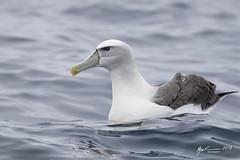 White-capped Albatross (R. Francis) Tags: thalassarchecautasteadi whitecappedalbatross tasmania tassie tas tasmanpeninsula eaglehawkneck ryanfrancis ryanfrancisphotography
