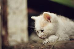 (DianePL) Tags: cat cats sad animal nikon nature natura neko gato poland polska pastel vintagelens vintageprimes vintage kitten kitties kitty kot cute helios manual m42 catmoments