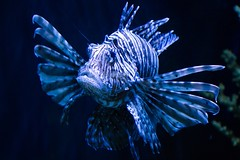 Lionfish (boom_goes_the_canon) Tags: zoo iowa nature animal lionfish fish aquarium exhibit blankparkzoo desmoines