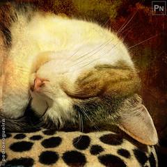 Sleeping like an angel (Pedro Nogueira Photography) Tags: pedronogueiraphotography pedronogueira photography animal cat gato doméstico domestic kitty kittens pets pet mobilephone iphonex telemóvel iphoneography patuska