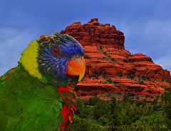 Rare Sedona Lorakeet (oybay©) Tags: iconic az johnmccain redrocks nature natural bell rock sedona arizona landmark geology geography southwest best hike climb beauty red tourist site butte sedimentary sandstone oak creek vortex trail walk earth sonoran desert formation science view landscape photography dramatic outdoor canyon sky tree bird rainbow lorakeet colour animal