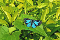 The Blue Gem (Male) !! (Lopamudra !) Tags: lopamudra lopamudrabarman lopa india jayanti forest blue gem bluegem westbengal foliage duars dooars nature portrait beauty beautiful butterfly
