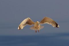 I gabbiani del Mar Baltico (kmclaudio) Tags: mare uccello gabbiano pentaxart marbaltico ali aria volo