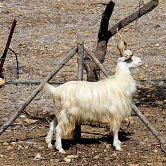 photo - Agrigento Goat (Jassy-50) Tags: photo agrigento sicily italy agrigentogoat ancientbreed goat capragirgentana spiralhorns twistedhorns animal squareformat