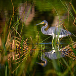 Tricolored heron in the reeds at sunrise in Fred C. Babcock/Cecil M. Webb Wildlife Management Area near Punta Gorda, Florida thumbnail