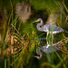 Tricolored heron in the reeds at sunrise in Fred C. Babcock/Cecil M. Webb Wildlife Management Area near Punta Gorda, Florida