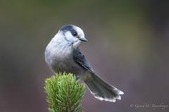 Gray Jay (Turk Images) Tags: arnigoodmantrip grayjay jaspernationalpark perisoreuscanadensis alberta birds corvidae grja jays fall mountains