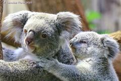 Koala mit Jungtier - Koala with joey (Noodles Photo) Tags: marsupialia beuteltiere australidelphia diprotodontia phascolarctidae phascolarctos phascolarctoscinereus koala zooduisburg zoo duisburg nordrheinwestfalen northrhinewestphalia nrw deutschland germany canoneos7dmarkii tamronsp150600mmf563divcusdg2