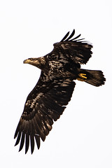 Juvenile Bald Eagle (kylebagleyphotos) Tags: nature wildlife wilderness bird photography canada travel bald eagle birdwatching
