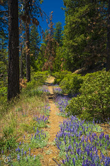 Lupine along the trail (RobertCross1 (off and on)) Tags: a7rii alpha ca california emount fe1635mmf4zaoss ilce7rm2 mariposa sierranevada sierras sony yosemite yosemitenationalpark bluesky flowers forest fullframe hiking landscape lupine mirrorless mountains nature trail trees wildflowers