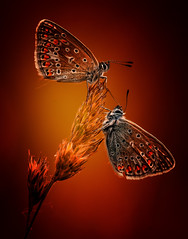 Burning friendship (♥ ⊱ ╮Juergen~ Off for some days╭ ⊰ ♥) Tags: twins wildlife untouched butterfly nature plants summer commonblue