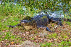 Help, Something's Covering My Eyes (BFS Man) Tags: brazosbend texas alligator gator reptile statepark water