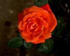 Buona Domenica (dona(bluesea)) Tags: rosa rose giardinobotanico botanicalgarden palermo sicilia sicily