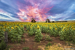Field of Sunflowers (jasonsulda) Tags: flowersadminfave sunflower sunflowers field landscape farm farmland flowers flower sunset sky afternoon country rural queensland australia warwick plant plants farming crops crop canon
