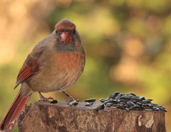 female cardinal 2 (Anne Davis 773) Tags: 2019365 23365 cardinal brd female