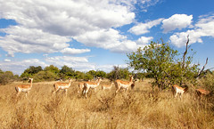 "Ladies of the Black-faced Impala Clan _6755 (hkoons) Tags: chobenationalpark firstbridge magweegate mbomaisland southernafrica thirdbridge blackfacedimpala africa botswana magwee tree animal animals arbor beast bloom blossom branch branches bud buds canopy color expanse flora flower fur grass grasses green growth herbivore horizon horns impala land landscape leaf leaves limb limbs mammal outdoors outside panorama roots shrub shrubs sky soil stem sun sunlight sunshine trees trunk view ""moremigamereserve"