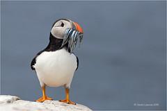 Puffin (Sandra Lipproß) Tags: puffin farneislands bird nature outdoor birding wildlife birdwatching coast sea stapleisland