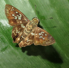Udranomia kikkawai (Over 5 million views!) Tags: butterfly hesperiidae peru udranomiakikkawai butterflies insect