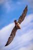 Sparrow Hawk, Puy du Fou, Vendée, France