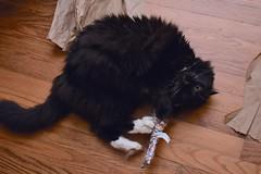 Batman has a turn with the catnip shark (rootcrop54) Tags: batman black tuxedo male longhaired longhair cat catniptoy catnip shark neko macska kedi 猫 kočka kissa γάτα köttur kucing gatto 고양이 kaķis katė katt katze katzen kot кошка mačka gatos maček kitteh chat ネコ cc100