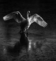 Swan lake (Harleycy3) Tags: swans onice backlit monochrome birds water subtlelighting reflections feathers wings blacknwhite flapping