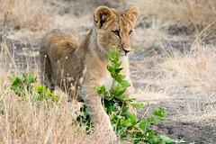 Lion Cubs (sharon.verkuilen) Tags: africa kenya laikipia boranaconservancy lion lioncubs safari sonya7rii