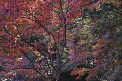 20181117__神護寺西明寺_0542_sdQuattroH (mu_x2012) Tags: jinngoji kyoto japan sigma sd quattro h 35mm f14 dg hsm art