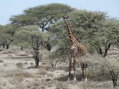 Masai giraffe - Giraffa camelopardalis tippelskirchii (Linda DV) Tags: giraffacamelopardalistippelskirchii kilimanjarogiraffe masaigiraffe artiodactyla vulnerableiucn31 lindadevolder travel africa tanzania 2018 nature victorialake geotagged fauna flora serengeti