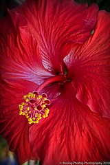 Red Hibiscus (robtm2010) Tags: mountdora florida usa eastcoast canon t3i canont3i flower plant redhibiscus hibiscus flowerscolors