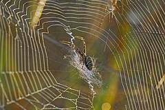Tygrzyk paskowany / Argiope bruennichi (Adam Żabiński) Tags: pająk pajęczynapajęczyny tygrzykpaskowanyargiopebruennichi argiopebruennichi waspspider animals natura nature pajczyna cobweb spiders macro kroplerosy drops adamzphotography sonya6000 natureinfocusgroup