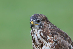A soggy Bertie... (Cosper Wosper) Tags: bertie buzzard somerset levels bird raptor soggy