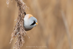 Bearded Reedling - Panure à moustaches 🐤🔭 (Waitandshoot - Alexandre & Chloé Bès) Tags: buse aigle buzzard bird variable canon hunt exterieur parc nature forest fishing outdoor oiseau animal extérieur blue tit flight winter snow oiseaux wind sky white profondeur de champ red rouge european robin gorge chanteur common chaffinch great duck bearded reedling panure moustaches bruant reed bunting eurasian bittern kingfisher