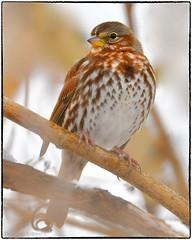 Fox Sparrow (RKop) Tags: raphaelkopanphotography nikon d500 600mmf4evr 14xtciii armlederpark ohio cincinnati
