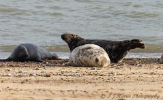 Having a Sleep (ian._harris) Tags: animals beach colours d7200 flickr horsey juvenile life natural naturaleza nature naturephotography nikon sigma sunny seal seals november