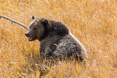 Just munching (ChicagoBob46) Tags: grizz grizzly grizzlybear bear sow yellowstone yellowstonenationalpark nature wildlife ngc naturethroughthelens coth5 npc