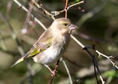 Greenfinch - Taken at Summer Leys Nature Reserve, Great Doddington. Northants. UK (Ian J Hicks) Tags: