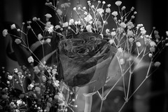 Rose By Rose (SopheNic (DavidSenaPhoto)) Tags: impressionisticphotography rose doubleexposure legacyglass flower monochrome multipleexposure rokkorlens bnw fuji bw xt2 blackandwhite fujifilm impressionism
