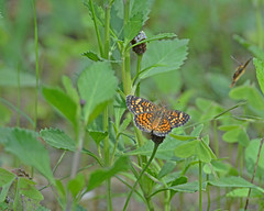 Pearl crescent (justkim1106) Tags: butterfly pearlcrescent nature wildlife wildflower texasnativeplants texasnativeinsect insect wingedinsect