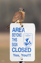 The Warden (dennis_plank_nature_photography) Tags: americankestrel avianphotography ridgefieldnwr birdphotography naturephotography ridgefield wa avian birds naure