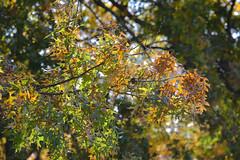 Autumn Color Pop (Modkuse) Tags: autumn autumnleaves leaves fall fallcolors fallcolor nature natural trees oak oakleaves oaktree velvia fujifilmxt2velvia fujifilmxt2velviasimulation nopostprocessing fujifilm fujifilmxt2 xt2 xf55200mmf3548rlmois fujinon fujinonxf55200mmf3548rlmois art artphotography photoart fineartphotography fineart naturephotography