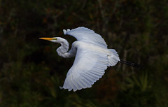 Great Egret in Flight (ashockenberry) Tags: ashleyhockenberryphotography animal beautiful bird beauty wildlife wildlifephotography wild nature naturephotography natural florida flight egret heron wingspan habitat grassland forest marsh lake avian