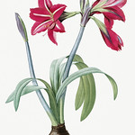 Brazilian amaryllis illustration from Les liliacées (1805) by Pierre Joseph Redouté (1759-1840). Digitally enhanced by rawpixel. thumbnail