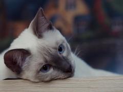 PC010779 (Vladimir V. Samoylov) Tags: 75mm animals cat e5markii mzuiko75mmf18 m43 micro43 microfourthirdsmicro43 olympus olympusm75mmf18 omd μ43
